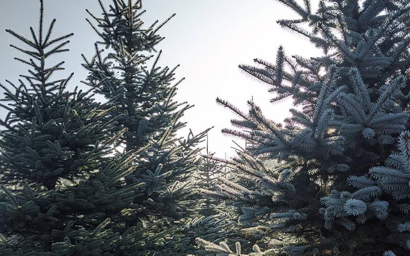 christmas-tree-brighton